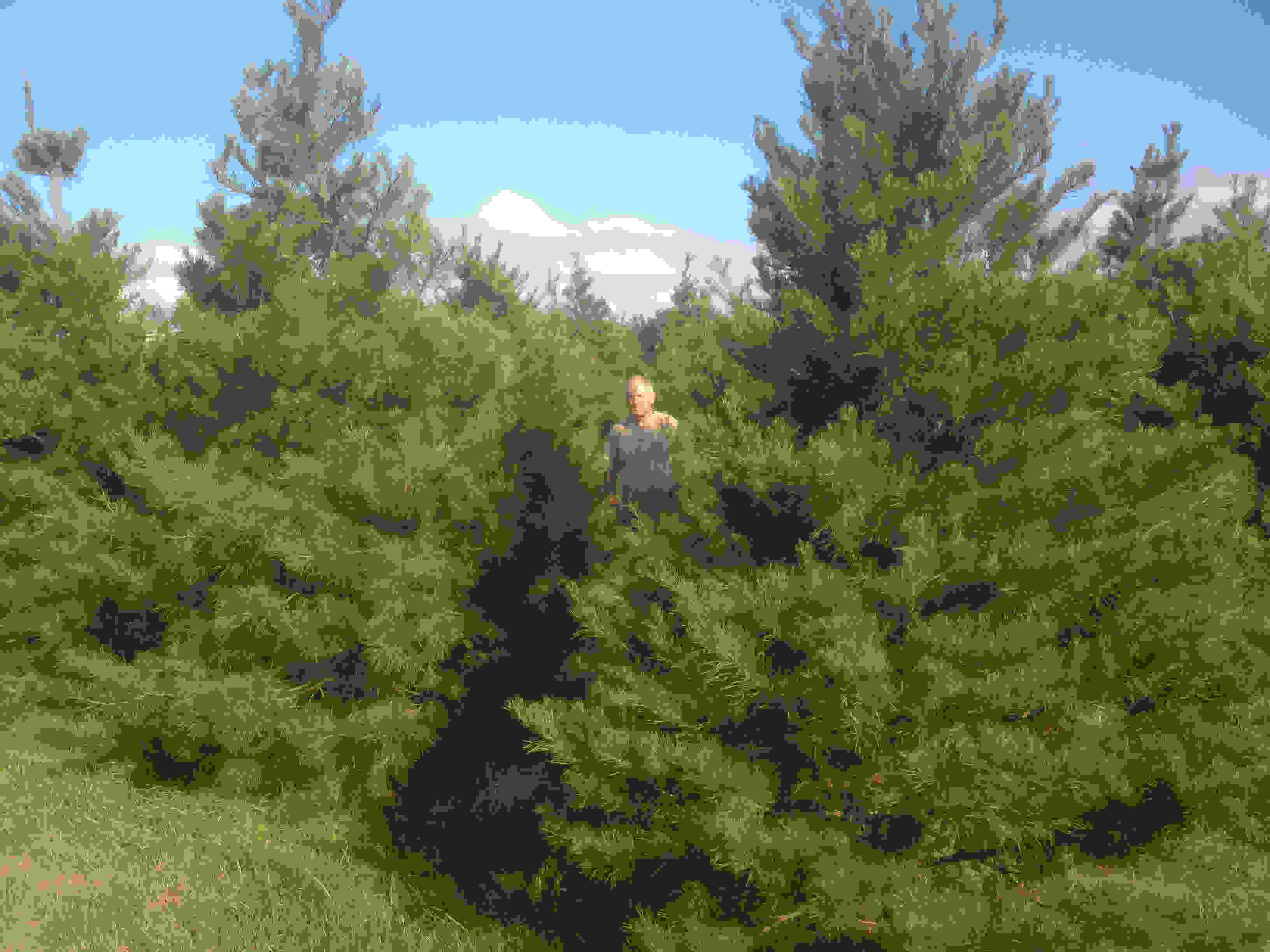 Brushy Creek Christmas Trees